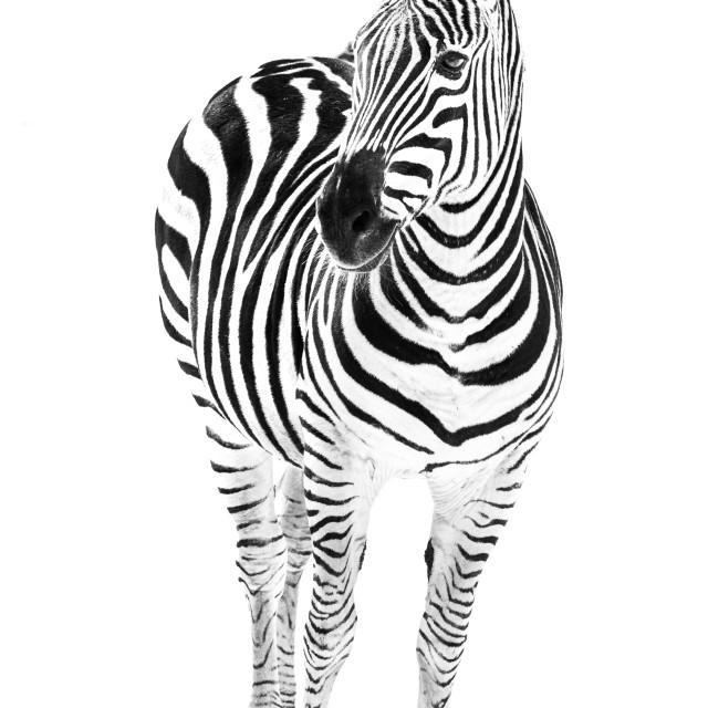 """""""Zebra in Snow VI"""" stock image"""