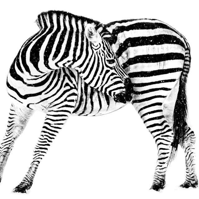 """""""Zebra in Snow VIII"""" stock image"""