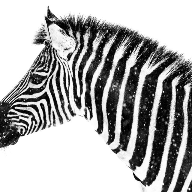 """""""Zebra in Snow VII"""" stock image"""