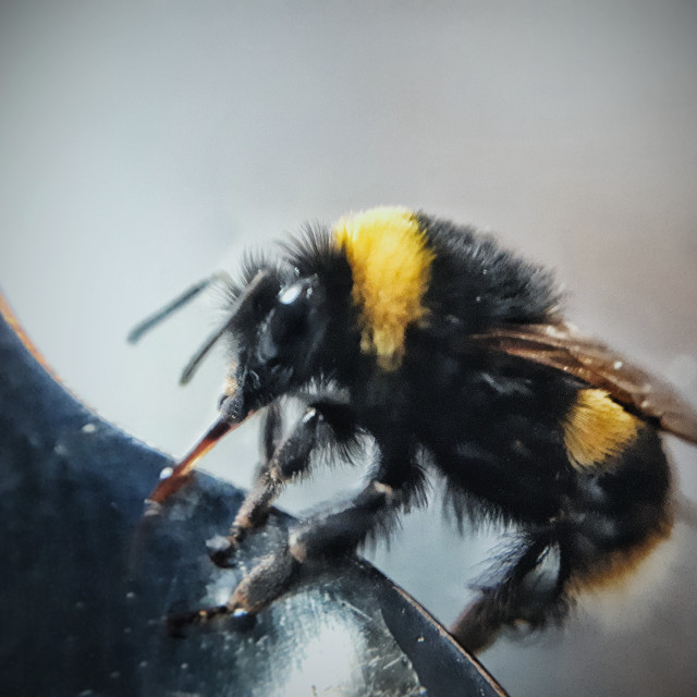 """""""An Early Bumblebee, Bombus pratorum"""" stock image"""