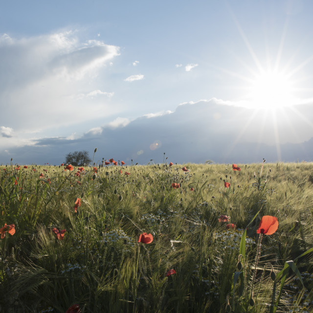 """""""poppies in the evening sunshine"""" stock image"""