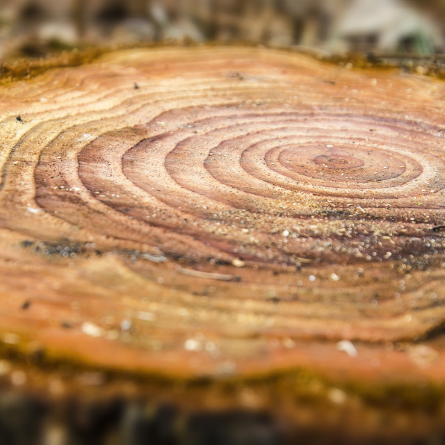 """""""Annual rings in a sawn down tree"""" stock image"""