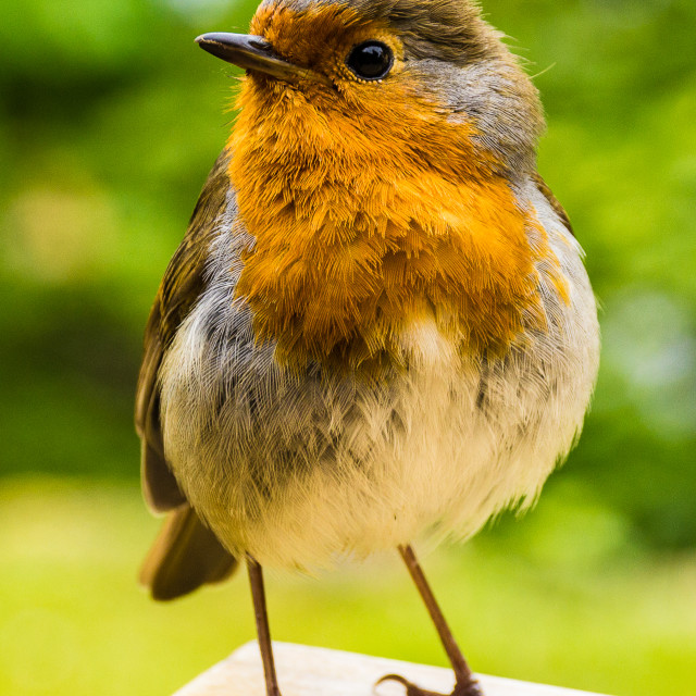 """A robin at the table."" stock image"