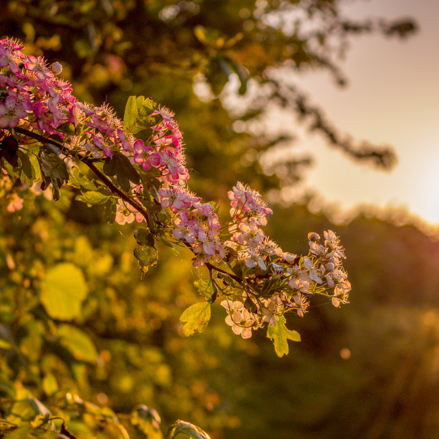 """Pink Blossom at Sunset"" stock image"