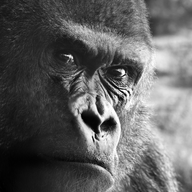 """Gorilla Portrait"" stock image"