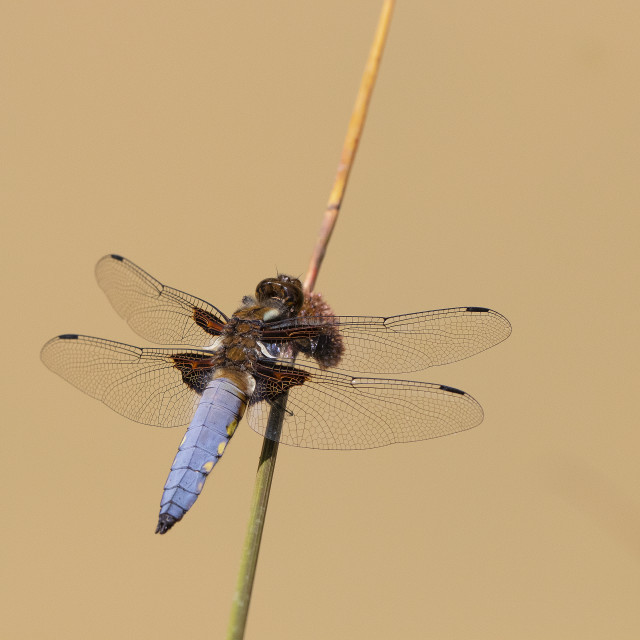 """""""Broad bodied chaser"""" stock image"""