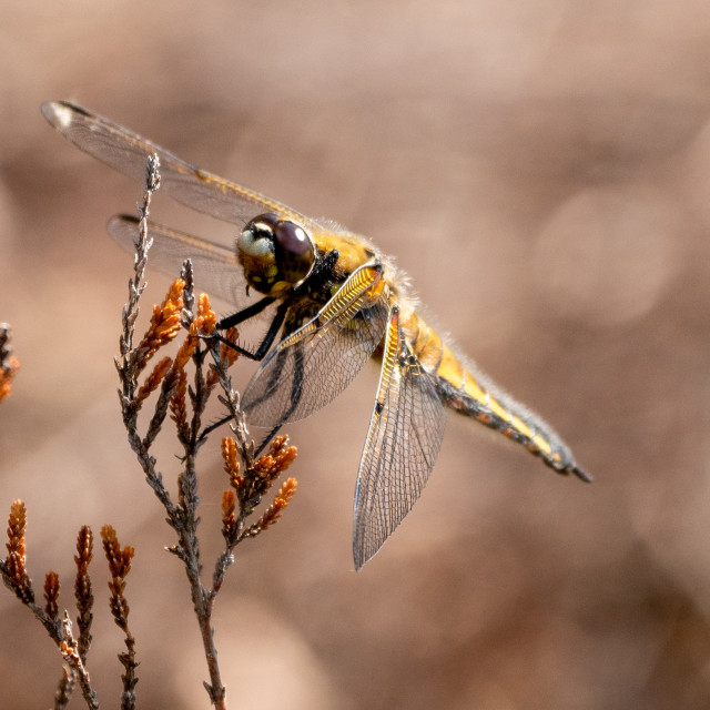 """Four-spotted chaser"" stock image"