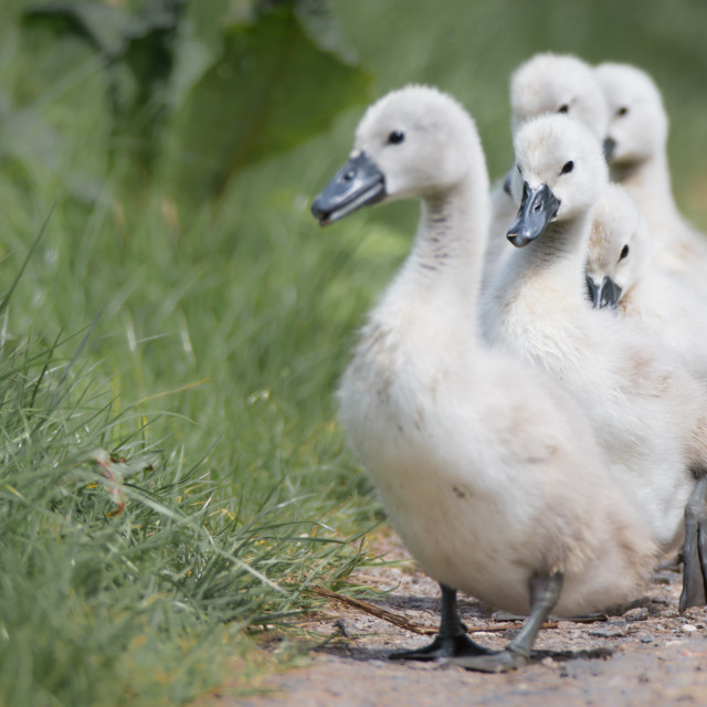 """""""Cygnets in a row."""" stock image"""