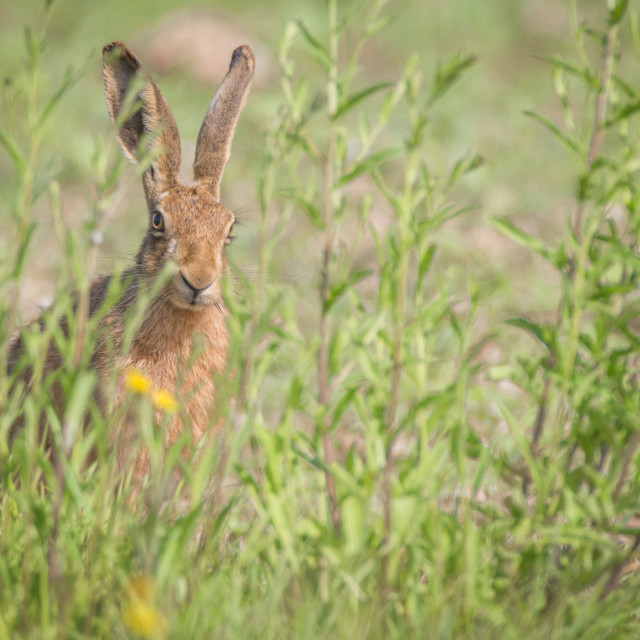 """""""Hare amongst the Buttercups"""" stock image"""