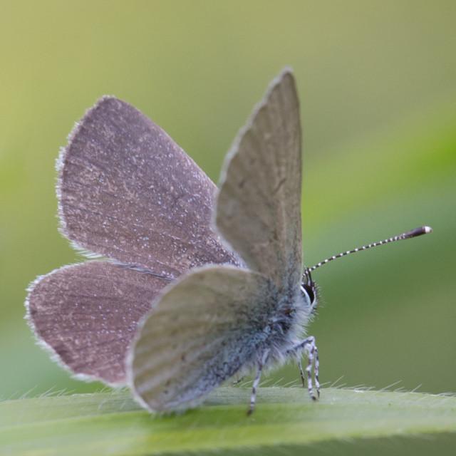 """Little Blue Butterfly."" stock image"