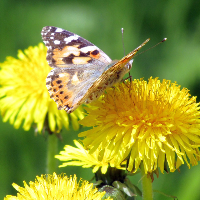 """Butterfly on dandelion"" stock image"