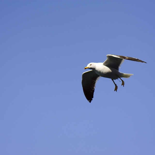 """""""Soaring Seagull searching for food"""" stock image"""