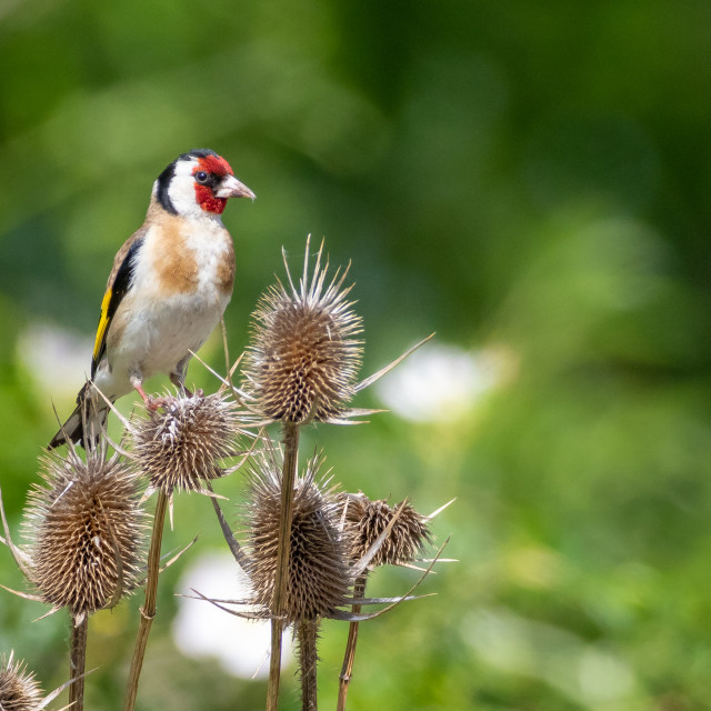 """Goldfinch - Carduelis carduelis"" stock image"
