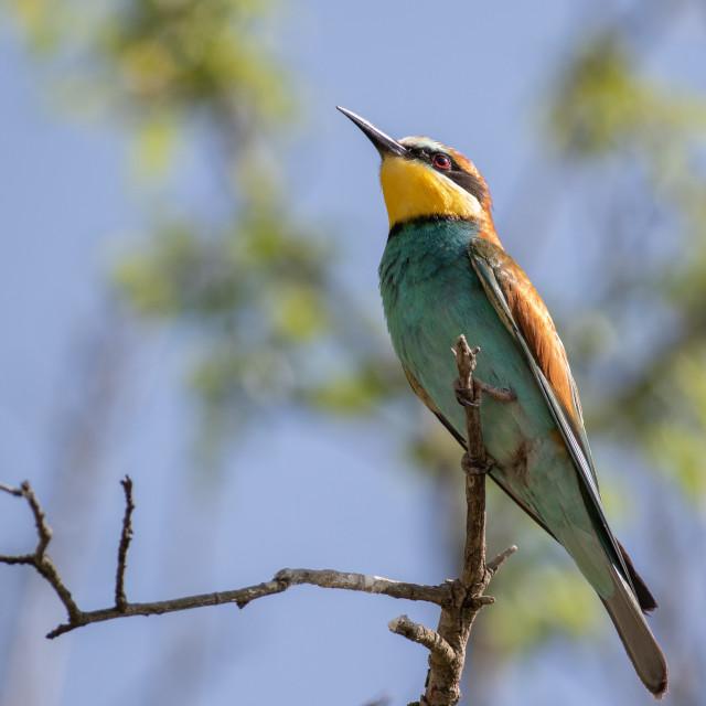 """European bee-eater - Merops apiaster"" stock image"