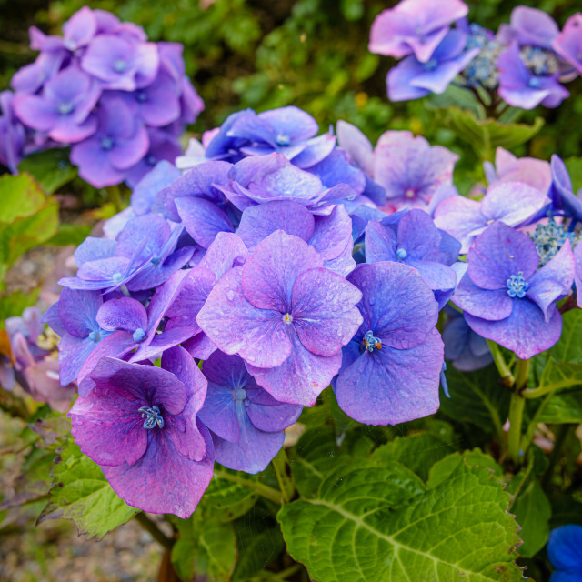 """""""Hydrangea, also known as a hortensia plant"""" stock image"""