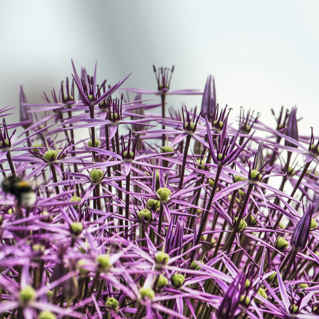 """""""Section of an allium sphere"""" stock image"""