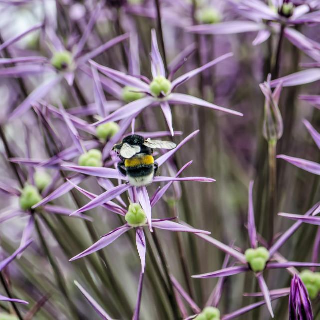 """Bee on an allium flower"" stock image"