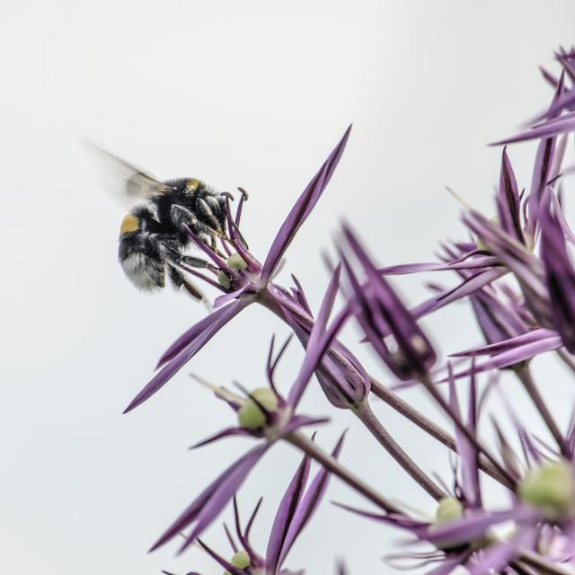 """Allium and bee close-up"" stock image"