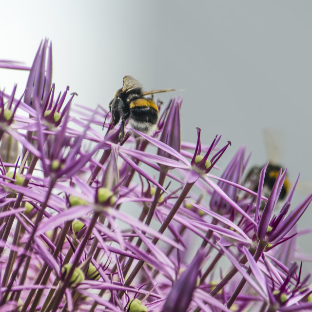 """Allium sphere with bees"" stock image"