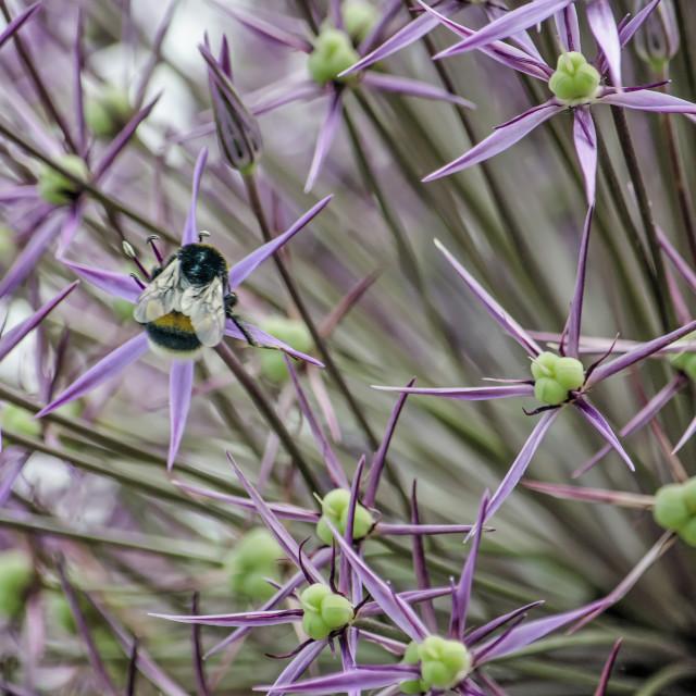 """Allium flowerss with bee"" stock image"