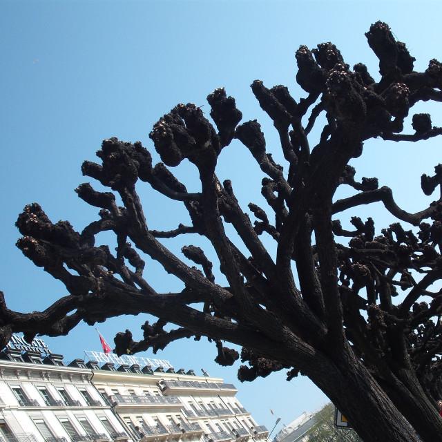 """""""Geneva's Plane Trees;"""" stock image"""