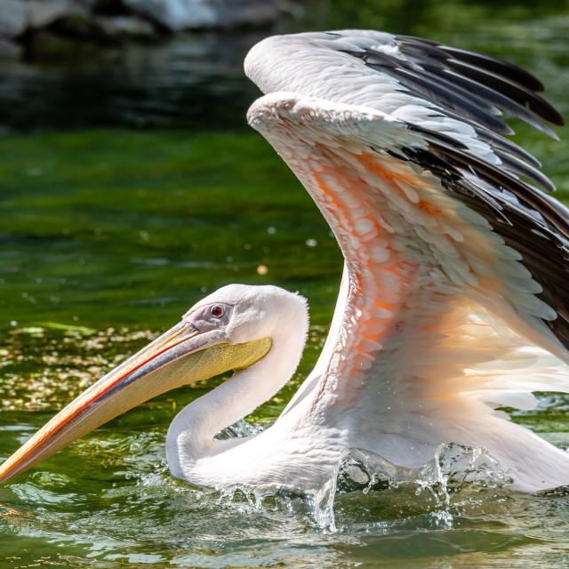 """The Pelican"" stock image"