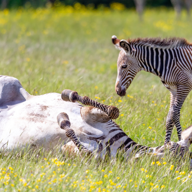 """Zebra & Foal Having Some Fun"" stock image"