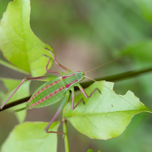 """Showy Plump Bush-Cricket - Isophya speciosa"" stock image"
