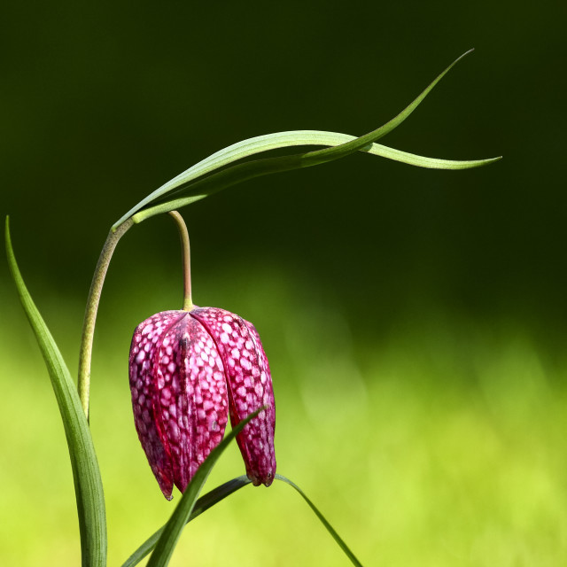 """""""Close up of a snakeshead fritillaria chequred daffodil flower on a warm spring day"""" stock image"""