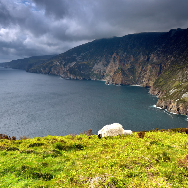 """""""Sheep and lamb on the highest cliffs of Ireland"""" stock image"""