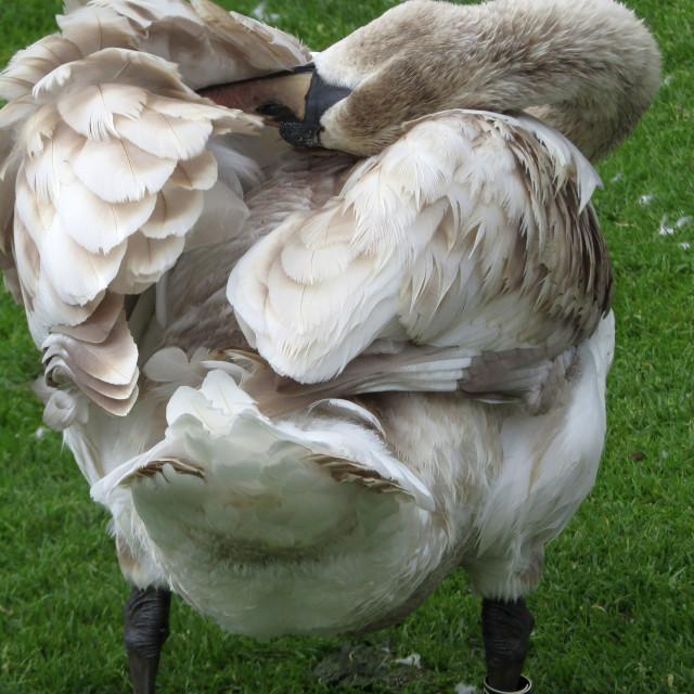 """Preening swan in Breiavatnet, Stavanger, Norway"" stock image"