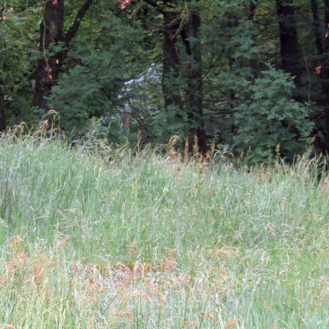 """""""Deer in suburbs park in Stavanger, Norway"""" stock image"""