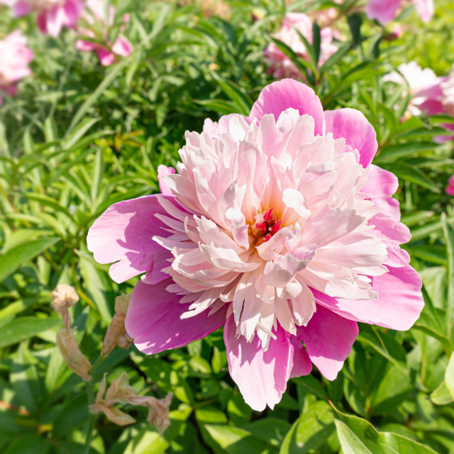 """""""Pink peony, or paeony in the Park"""" stock image"""