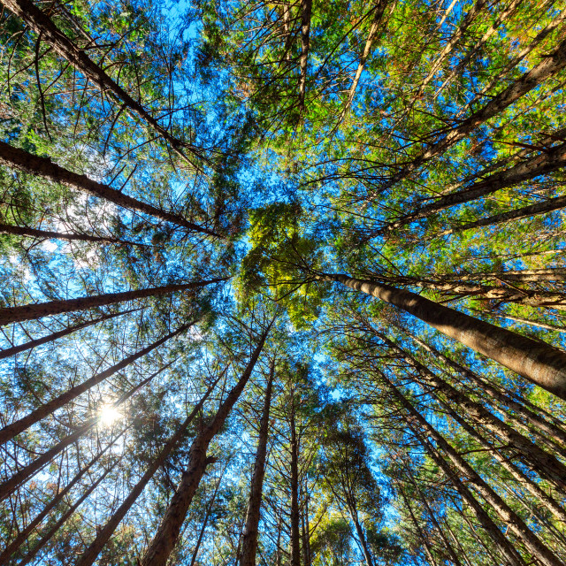 """""""Japanese cypress forest"""" stock image"""