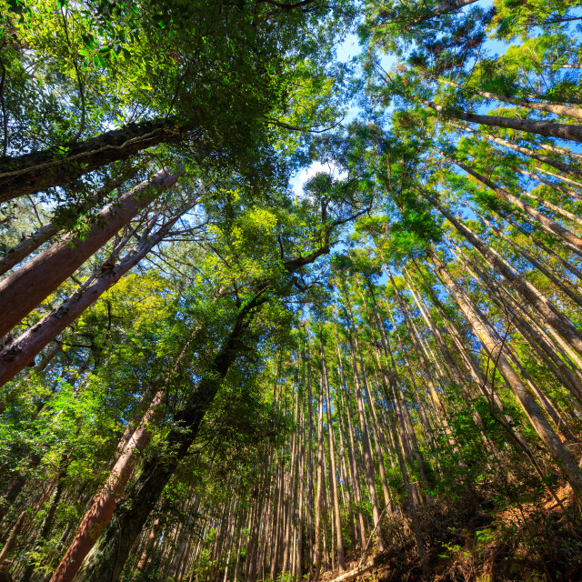 """""""Japanese mountain forest"""" stock image"""