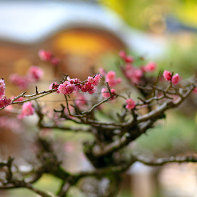 """Japanese cherry tree blossom"" stock image"