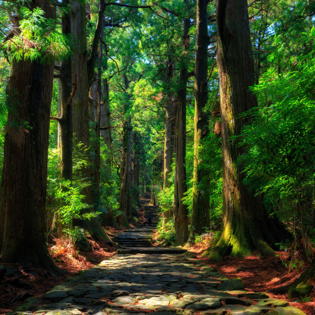 """""""Old Japanese cypress forest"""" stock image"""