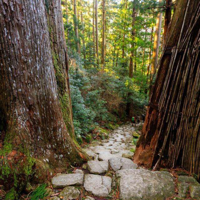 """Giant cypress trees"" stock image"