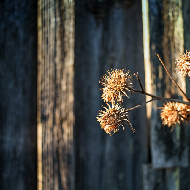 """""""Melancholy Thistle Branch By The Barn Wall"""" stock image"""
