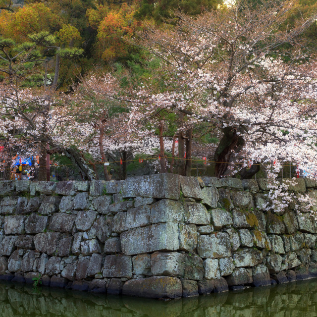 """""""Cherry trees flowers and old stone wall"""" stock image"""