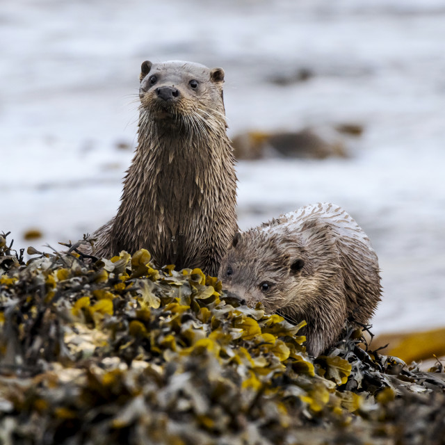 """""""Two young otters"""" stock image"""