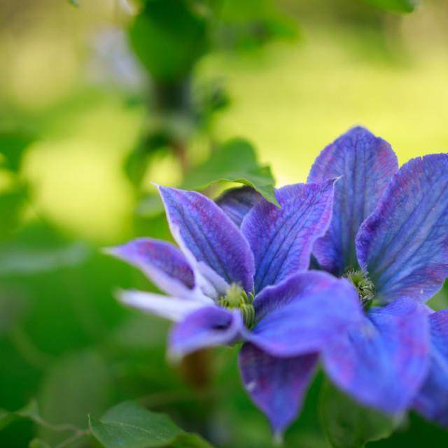 """""""Clemitis Flower"""" stock image"""