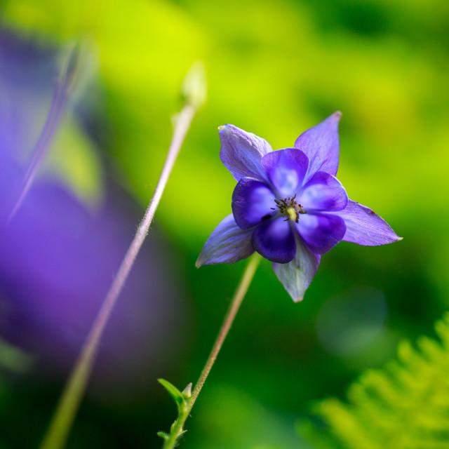 """Wild Columbine floweri"" stock image"