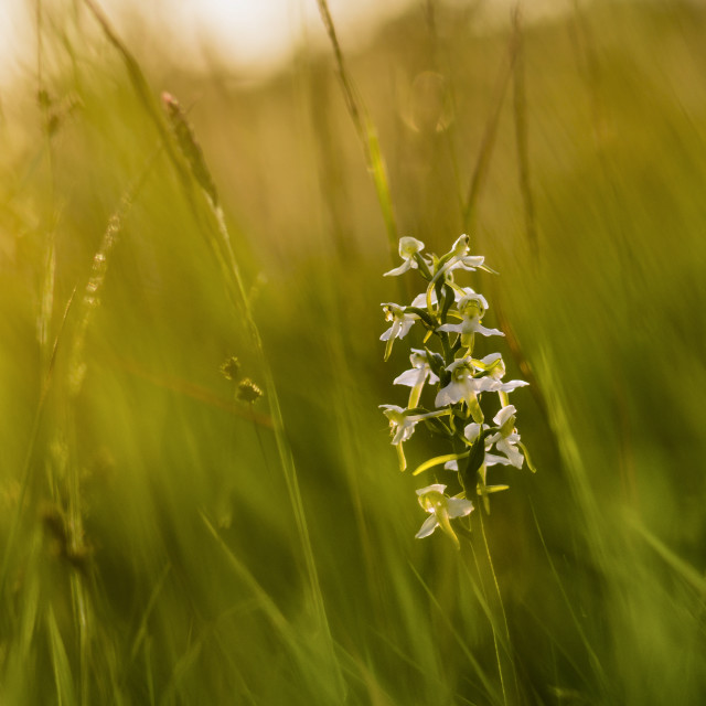 """""""Backlit Butterfly Orchid"""" stock image"""