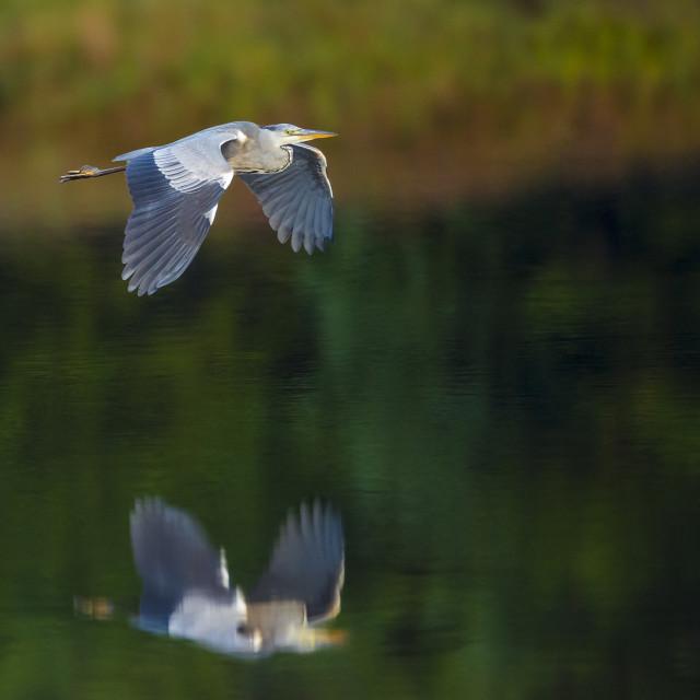 """""""Heron flying"""" stock image"""