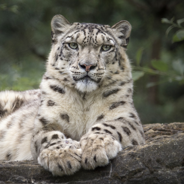 """Male snow leopard on rocks"" stock image"