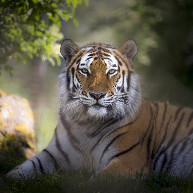 """Male Amur tiger framed by trees"" stock image"