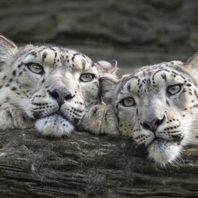 """Snow leopard mother and female cub"" stock image"