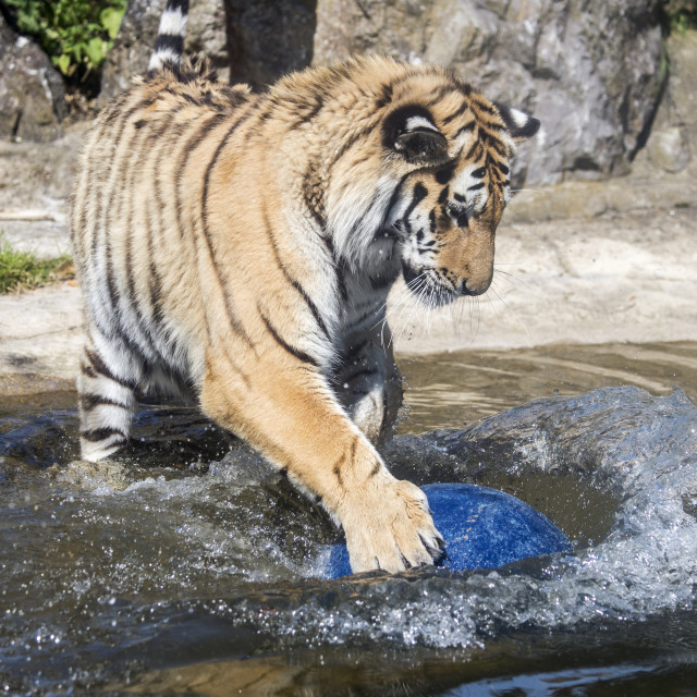 """Male Amur tiger playing with a ball in water"" stock image"