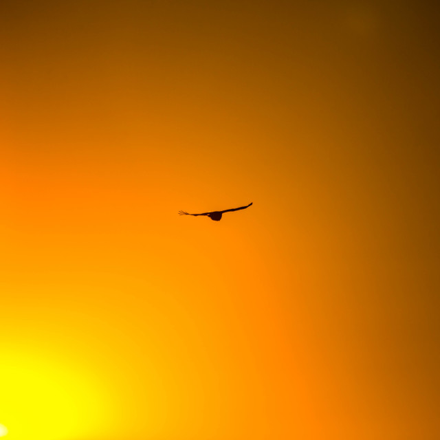 """Hawk in Flight beside the Sun"" stock image"